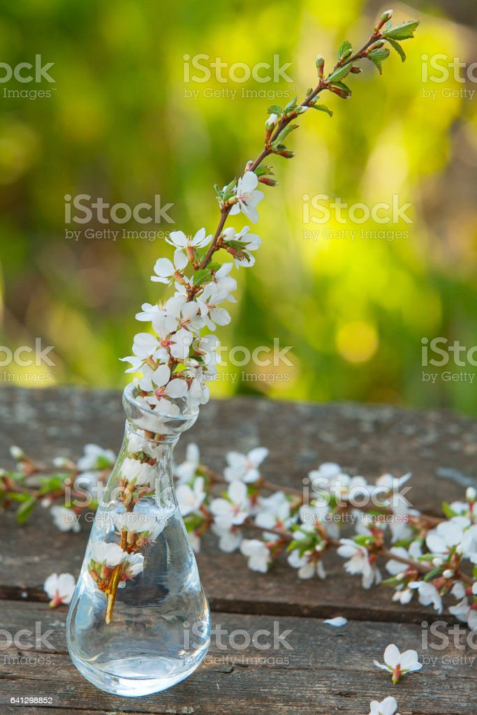 beautiful bouquet of cherry blossoms in vase on table stock photo