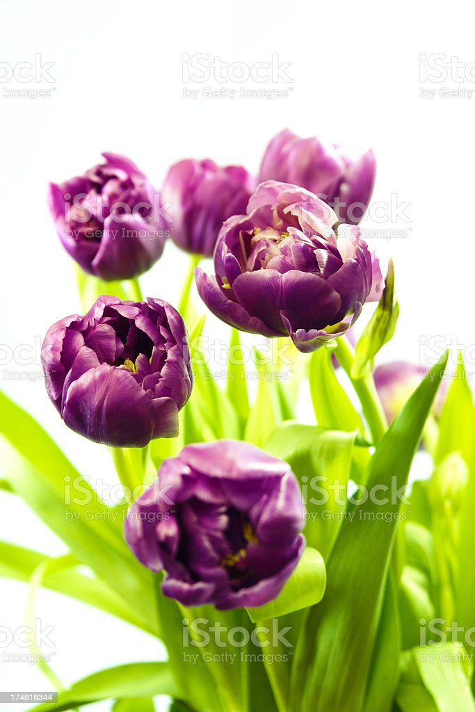 Beautiful bouquet of fresh, purple cut tulips isolated on white royalty-free stock photo