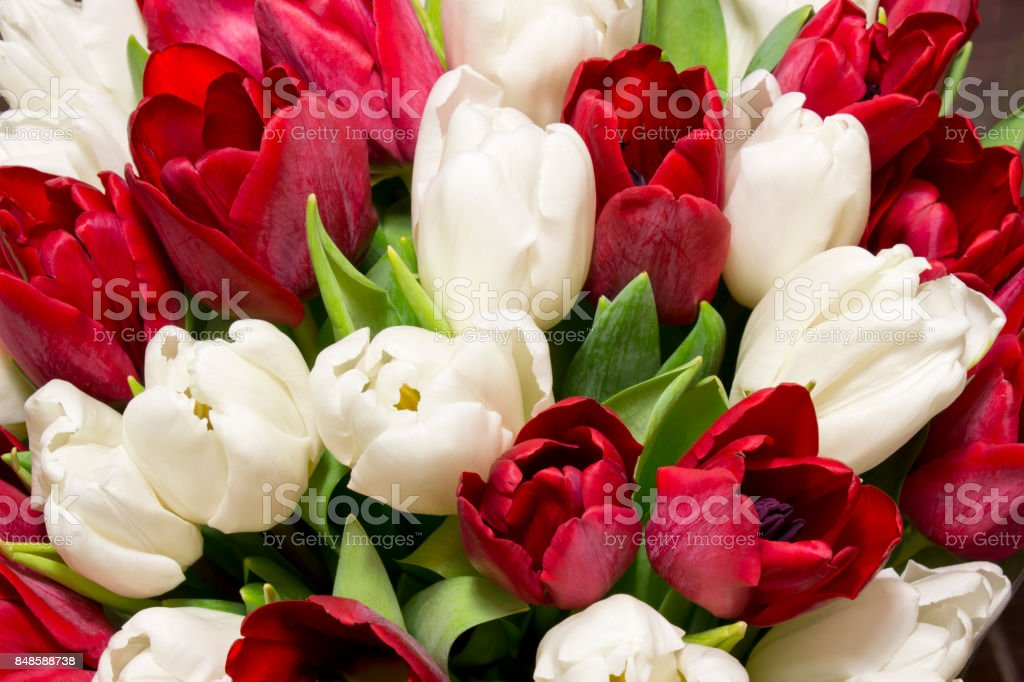 Beautiful bouquet of  red and white tulips.Greeting card stock photo