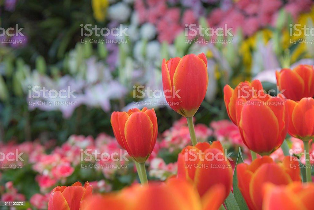 Beau bouquet de tulipes colorées tulipes.. photo libre de droits