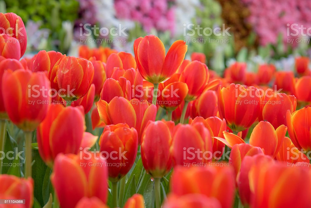 Beau bouquet de tulipes colorées tulipes.. photo libre de droits