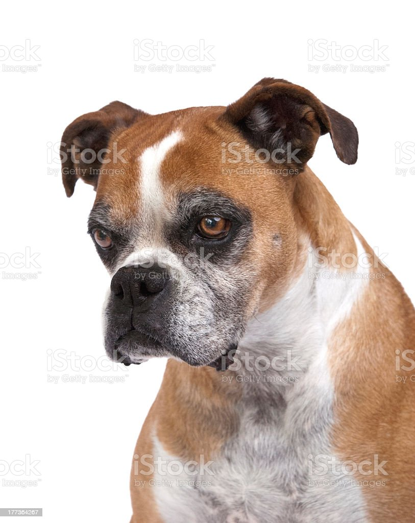 Beautiful Boxer stock photo