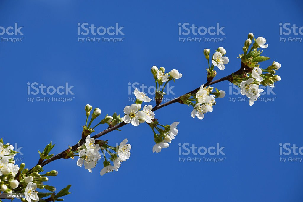 Beautiful branch of cherry tree in bloom on of blue royalty-free stock photo