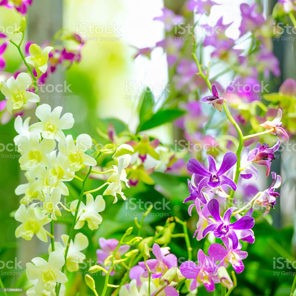 beautiful branches of purple, yellow orchid, dendrobium on green stock photo