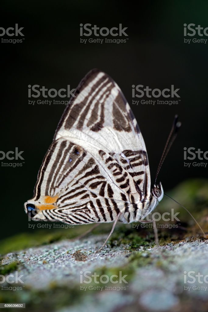 Beautiful Brazilian butterfly sighted in remnant of Atlantic Rai stock photo