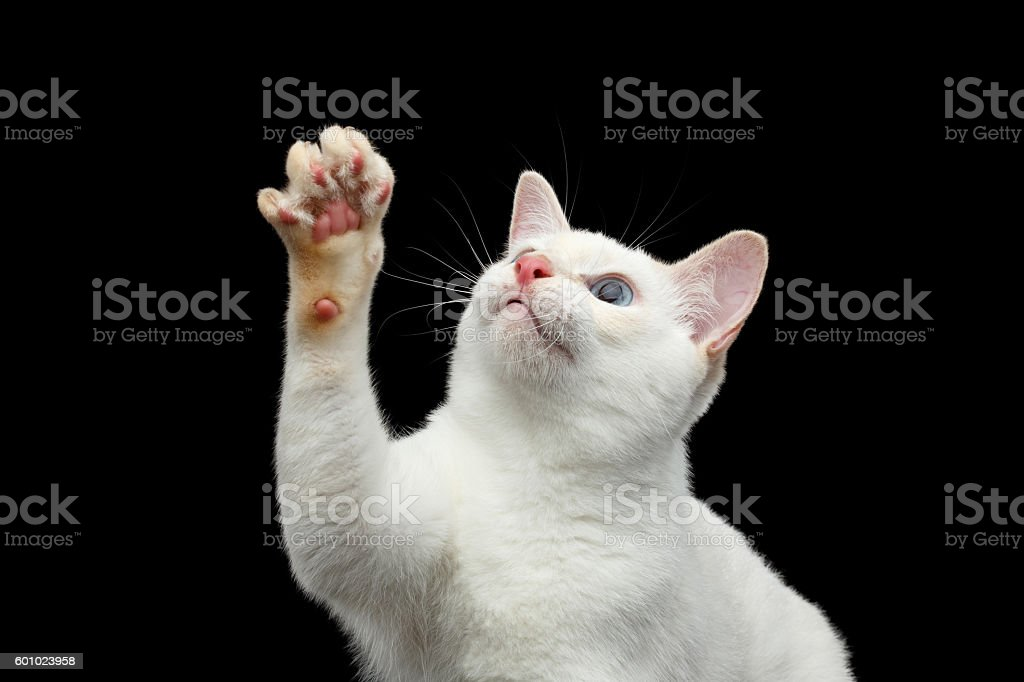 Beautiful breed without Tail Mekong Bobtail Cat Isolated Black Background stock photo
