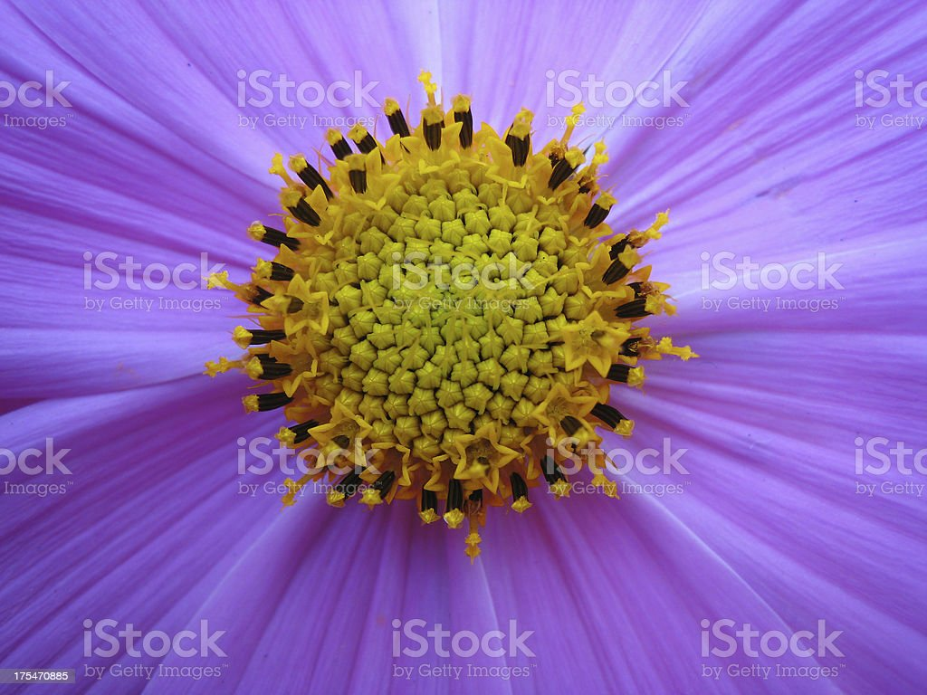 Beautiful, bright, vibrant cosmos flower macro(close-up) photo royalty-free stock photo