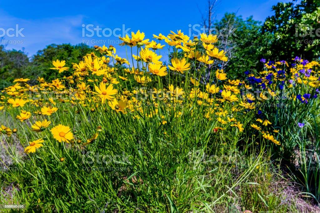 Beautiful Bright Yellow Lanceleaf Coresopsis Wildflowers in a Field. stock photo