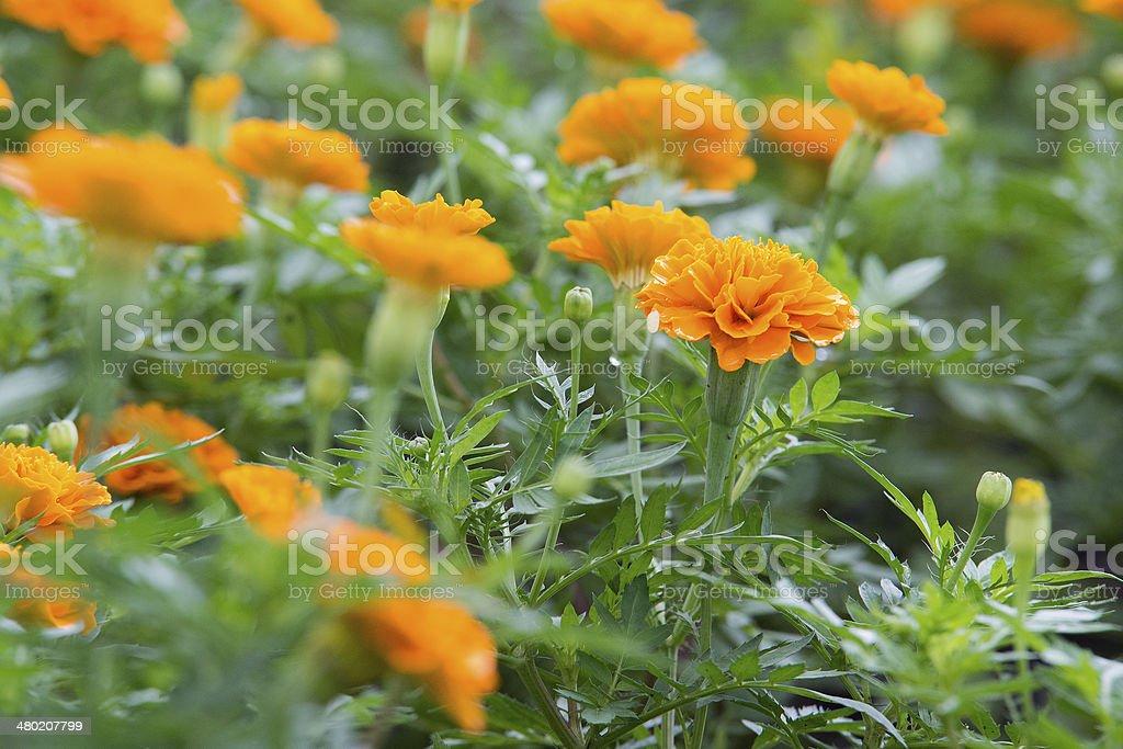 beautiful bright yellow marigold flower stock photo