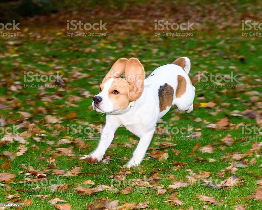 Beautiful, Brown And White Beagle Dog Puppy stock photo