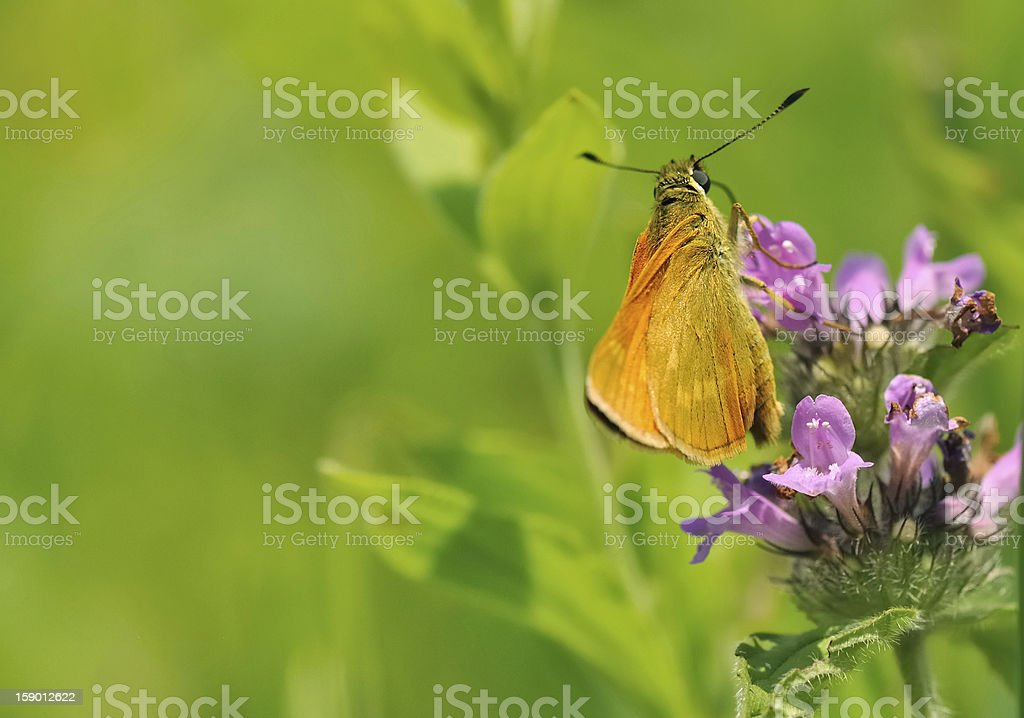 beautiful brown butterfly royalty-free stock photo