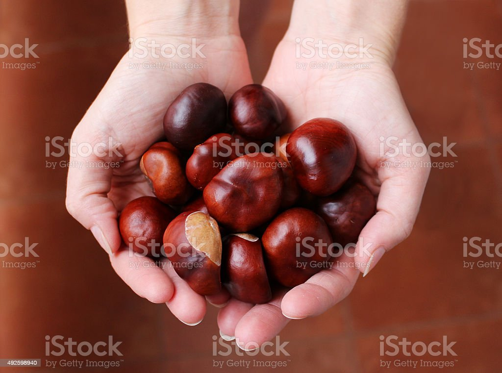 Beautiful brown chestnuts in the woman hands stock photo
