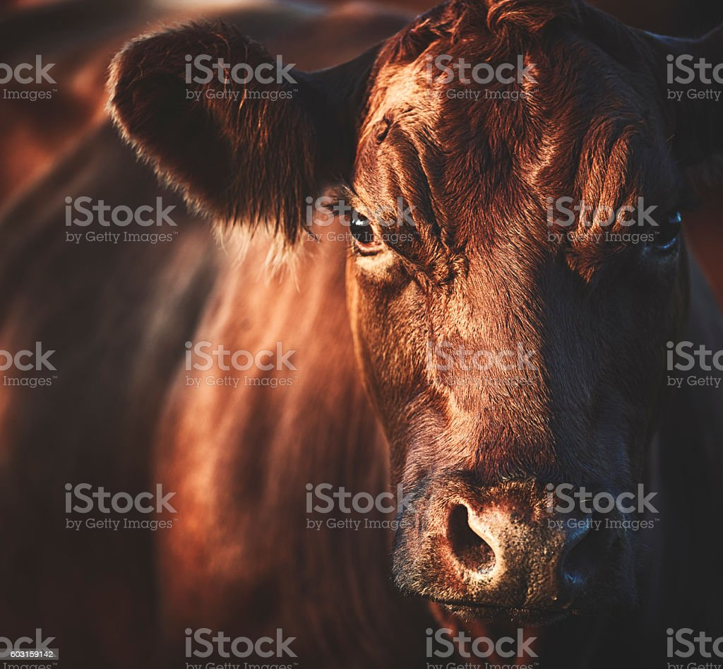 Beautiful brown cow is looking at me stock photo
