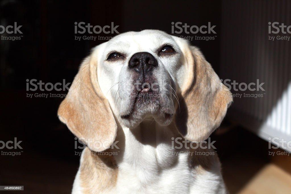 Piękne Brązowe oczy Portret Zbliżenie na psa Beagle określane są po zasięgnięciu zbiór zdjęć royalty-free