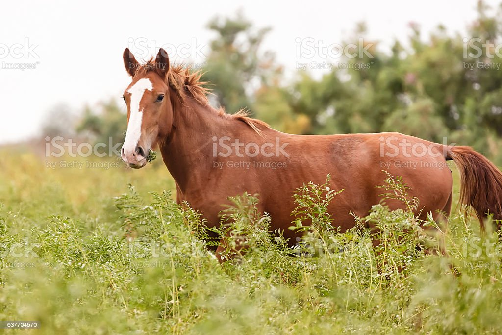 Beautiful brown horse in the green meadow stock photo
