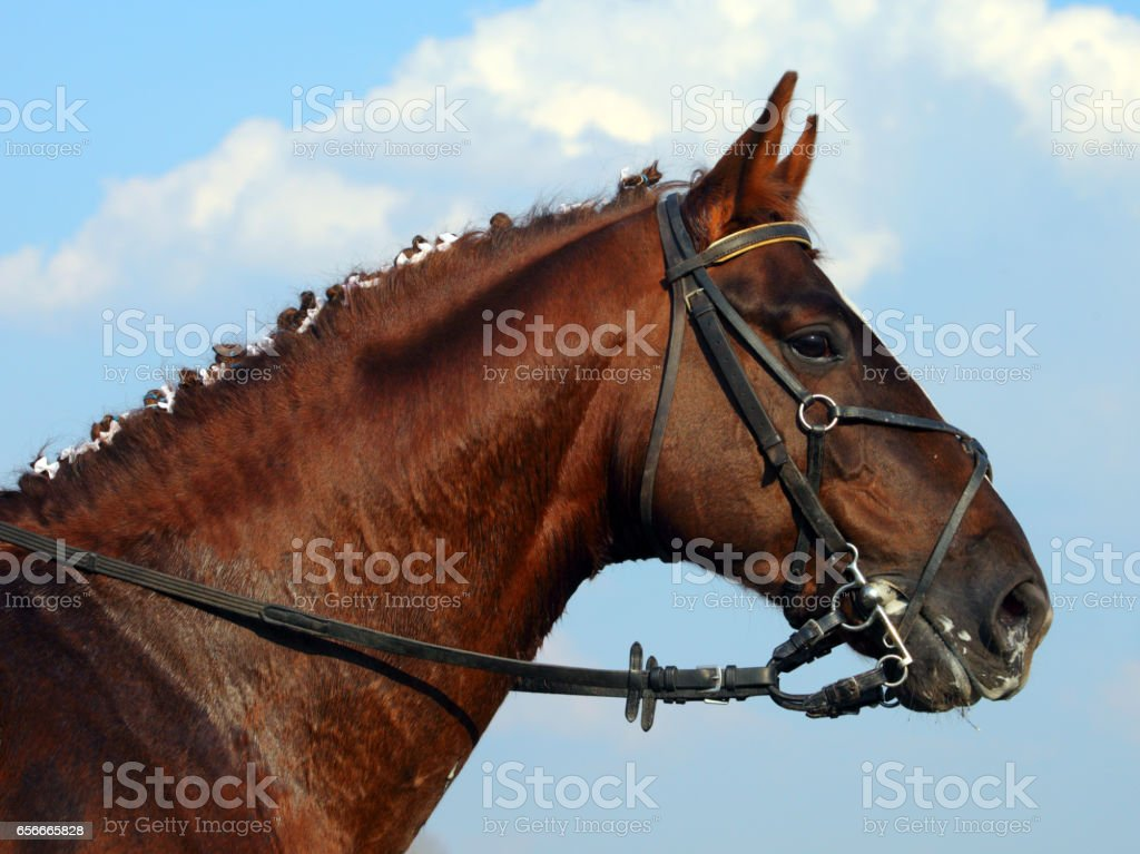 Beautiful brown horse portrait with bridle stock photo