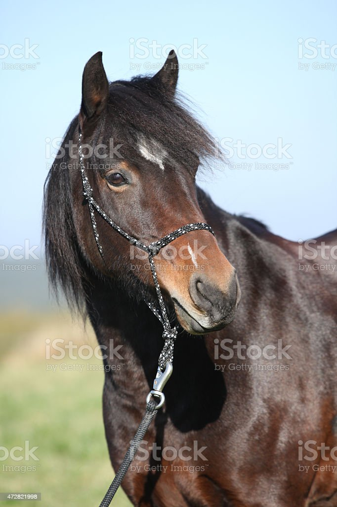 Beautiful brown mare with rope halter in autumn stock photo