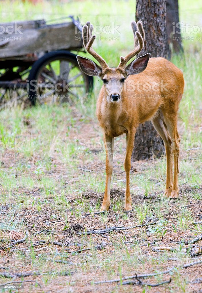 Beautiful Buck Mule Deer in the Pike National Forest Colorado stock photo