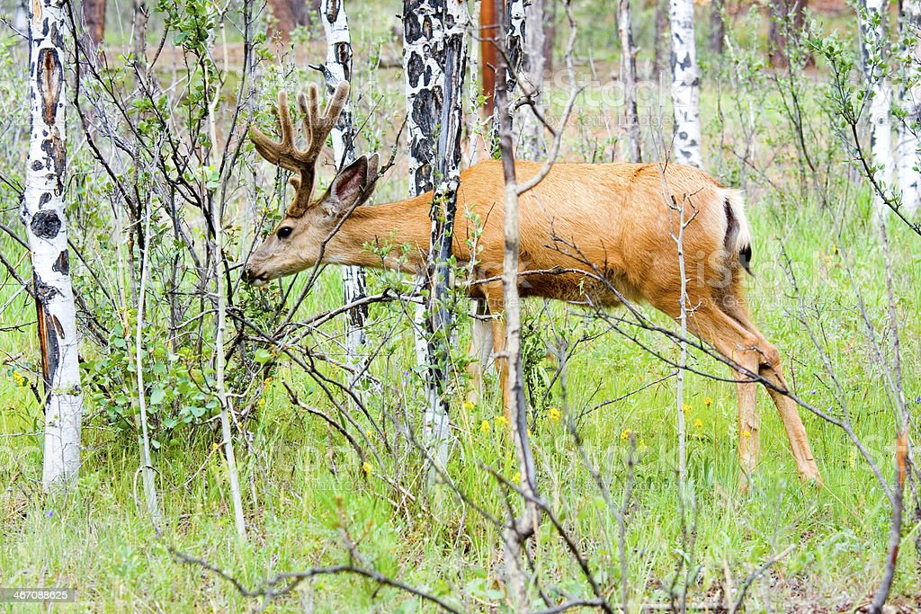 Beautiful Buck Mule Deer in the Pike National Forest Colorado royalty-free stock photo