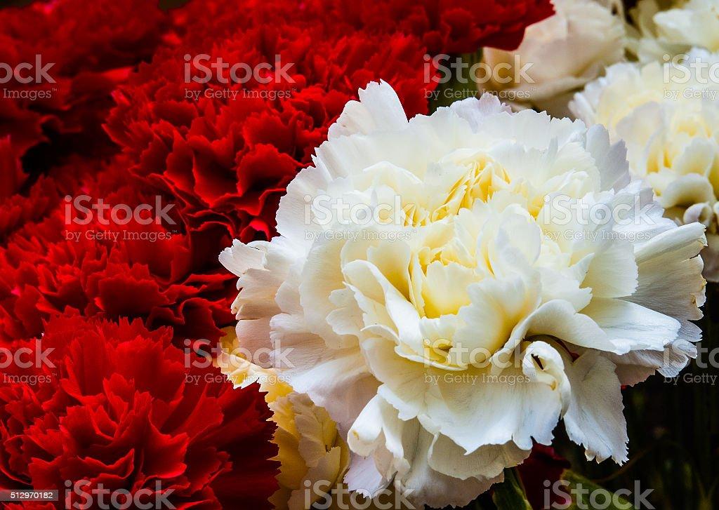 Beautiful bud of a carnation stock photo