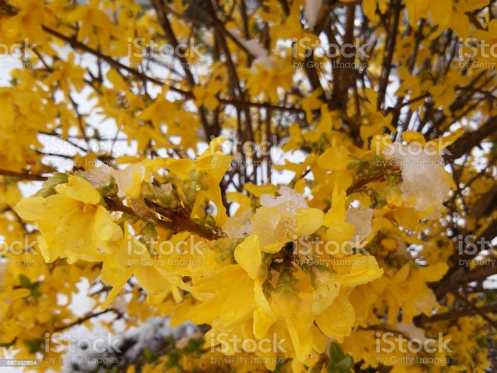 Beautiful bush of forsythia and snow around it in may stock photo