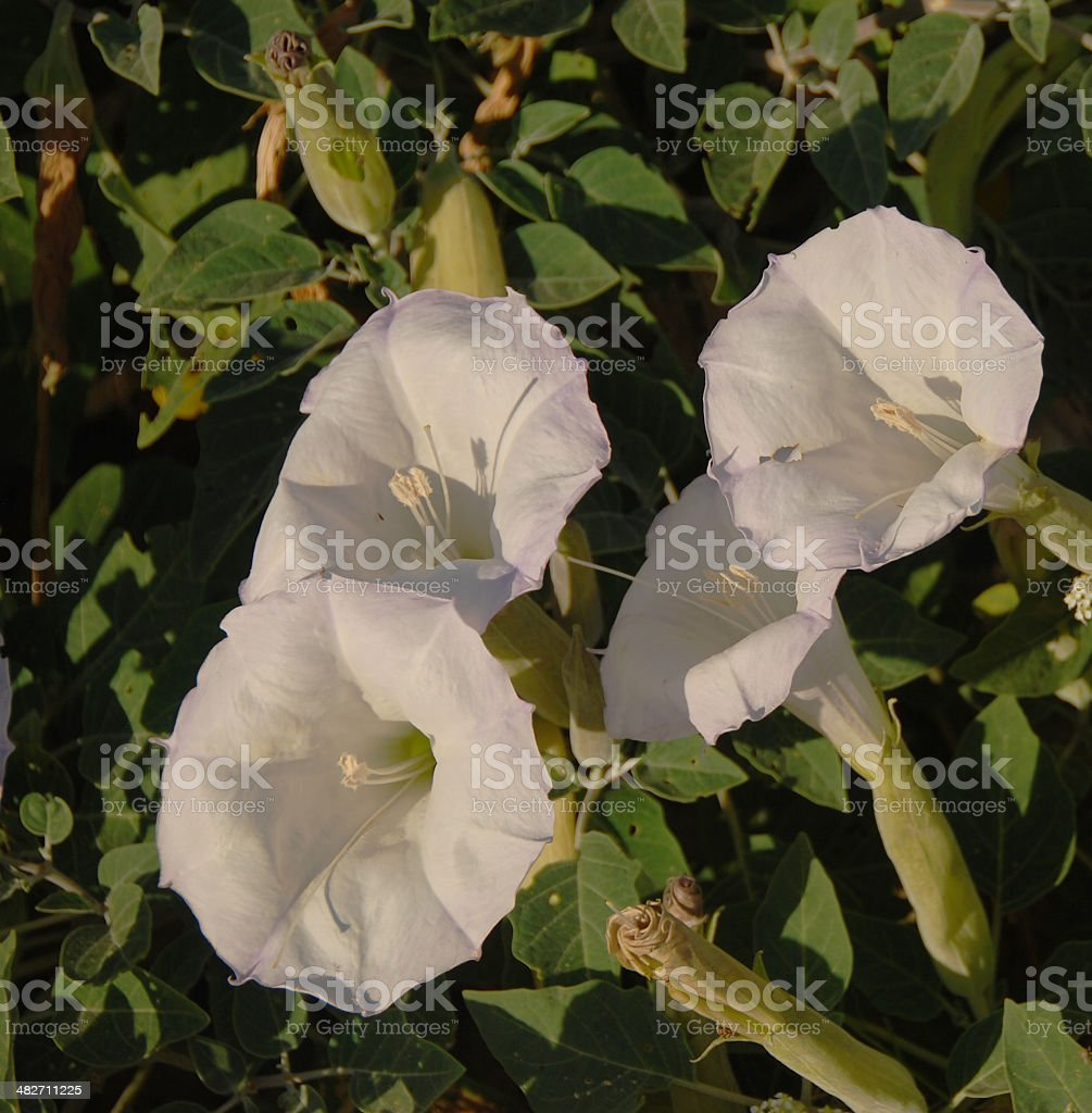 Beautiful But Deadly Jimson Weed royalty-free stock photo