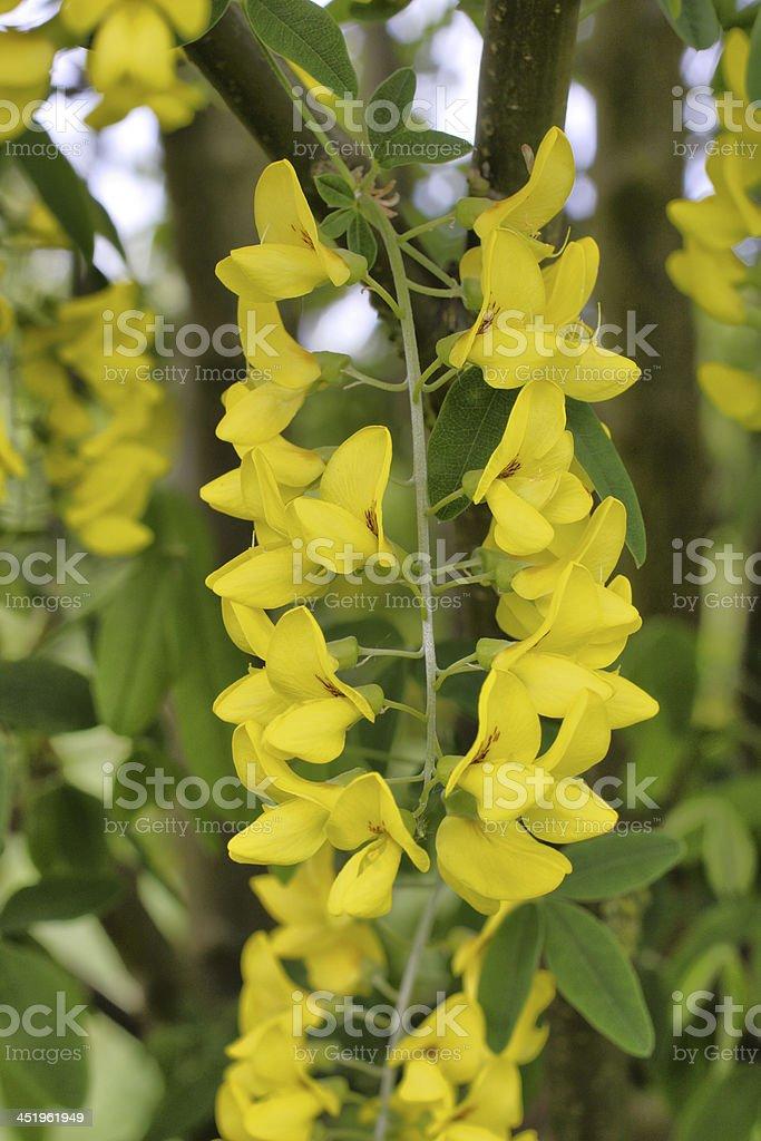 Beautiful but poisonous yellow laburnum close-up blooming stock photo