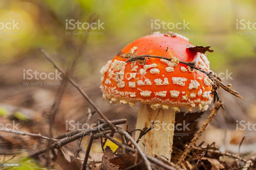 Beautiful but very poisonous mushroom Amanita. stock photo