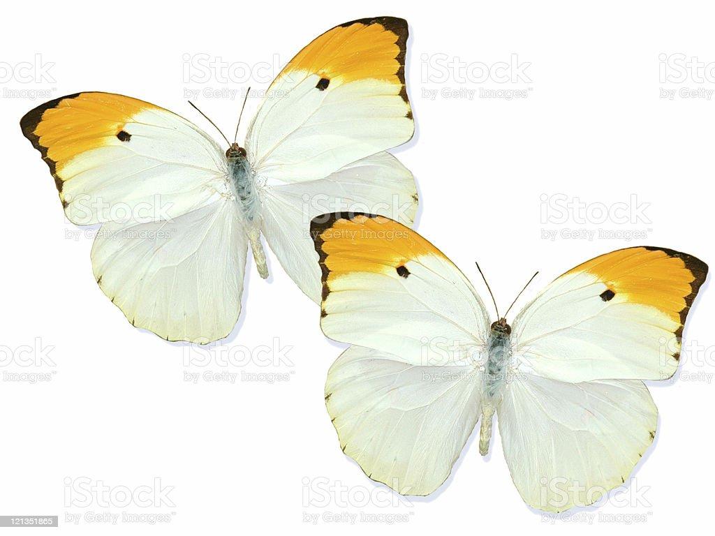 Beautiful Butterflies - From Peru stock photo