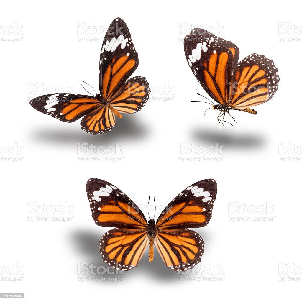 Beautiful butterflies, Plain Tiger stock photo