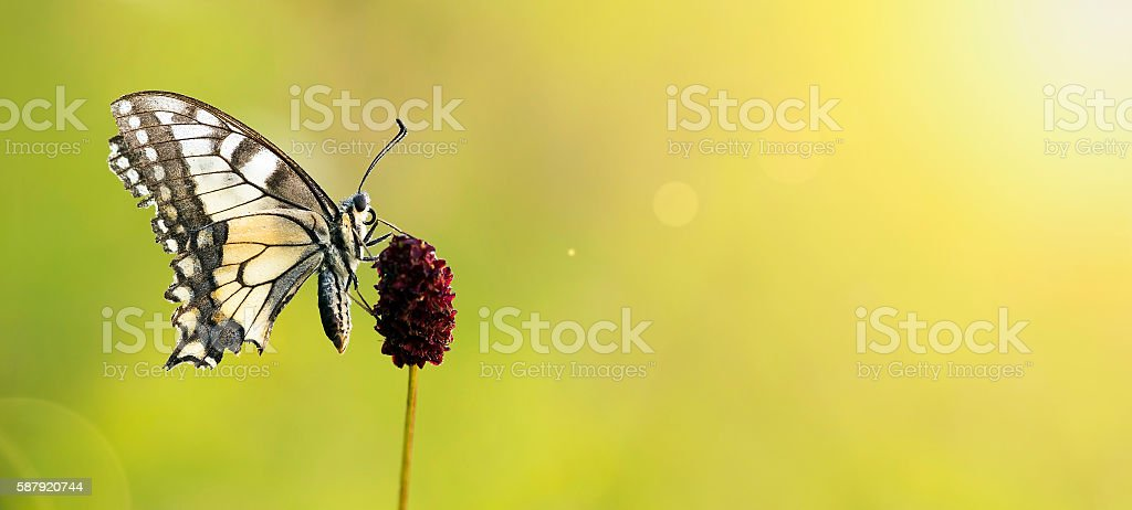 Beautiful butterfly banner stock photo