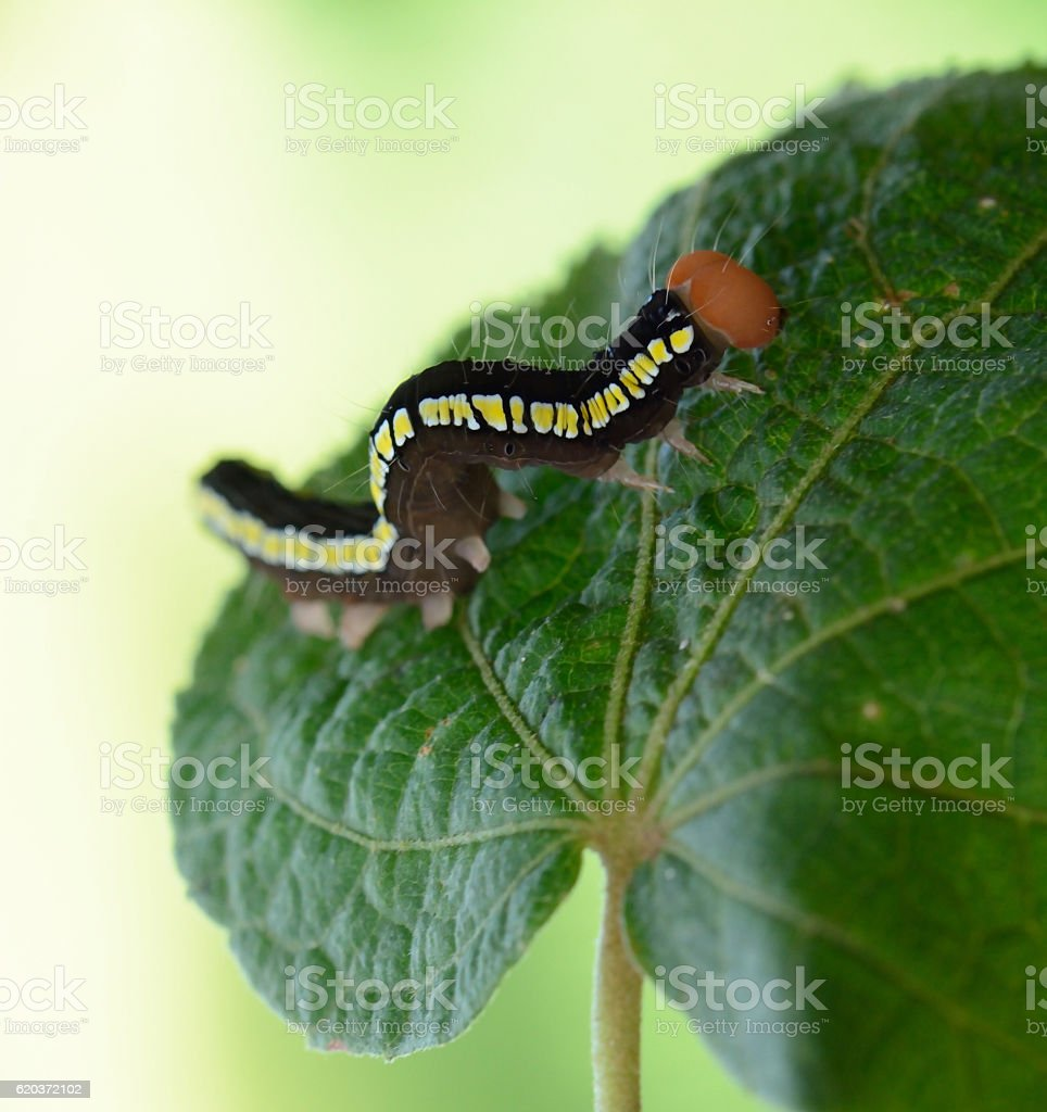 beautiful butterfly caterpillar  on leaf stock photo