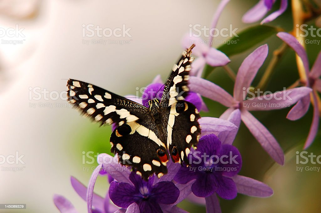 Beautiful Butterfly flying around flowers royalty-free stock photo