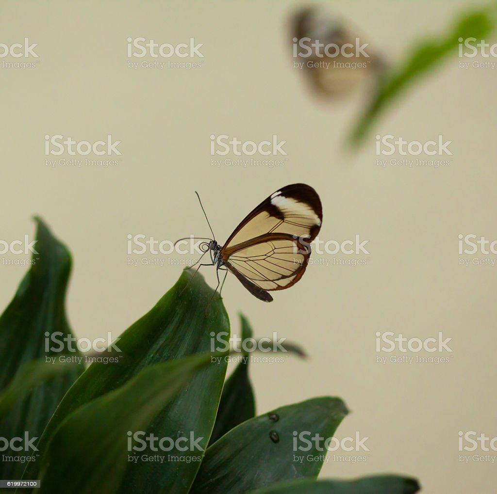 Beautiful butterfly, Nero Glasswing stock photo