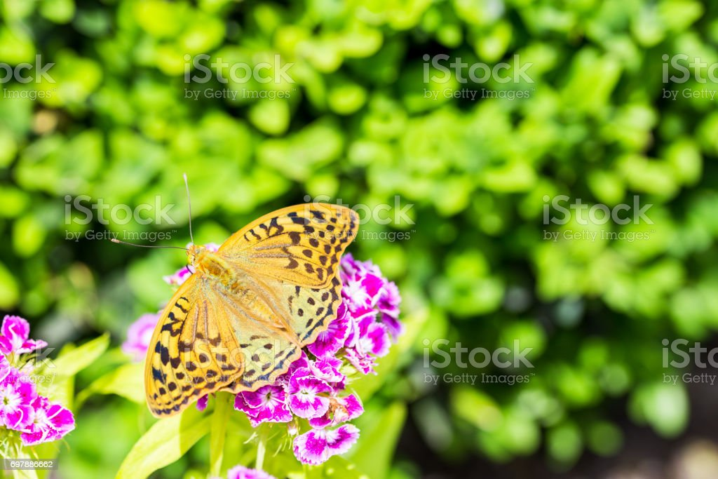 Beautiful butterfly on a carnation ( Dianthus barbatus) flower in a garden stock photo