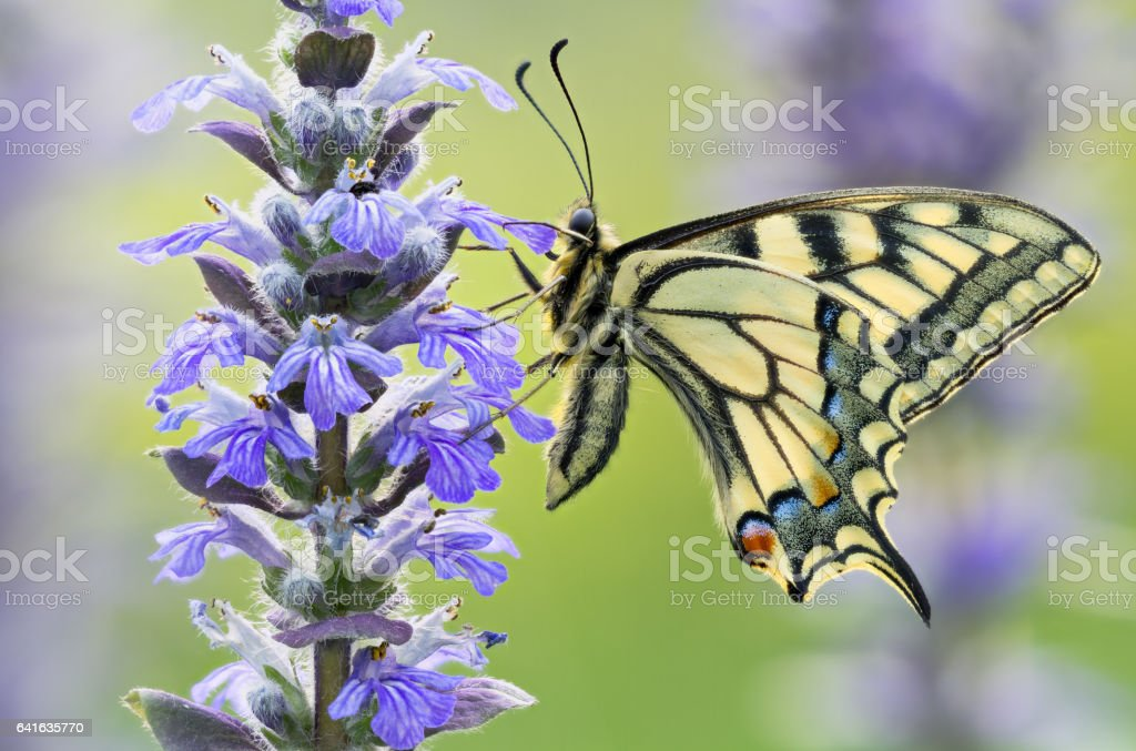 Beautiful butterfly Papilio Machaon in wild nature stock photo