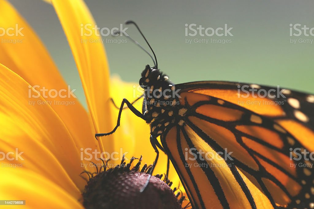 Beautiful Butterfly Up-Close royalty-free stock photo