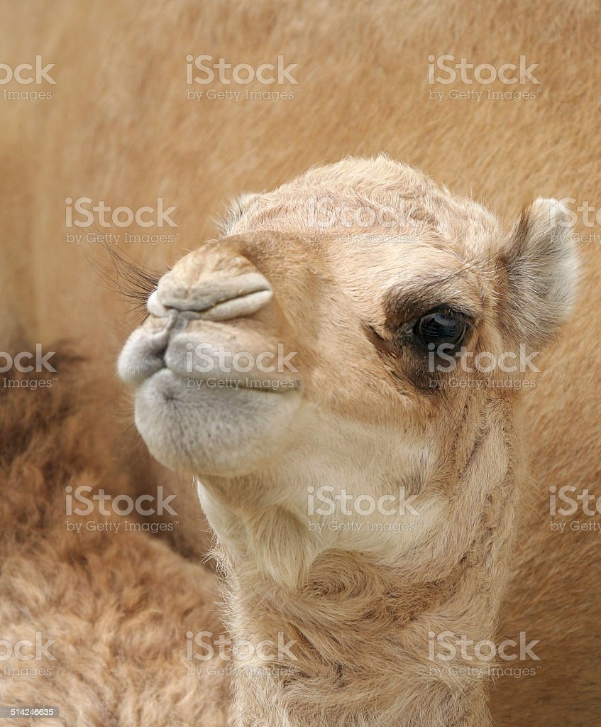 Beautiful camel calf seeing the lens stock photo