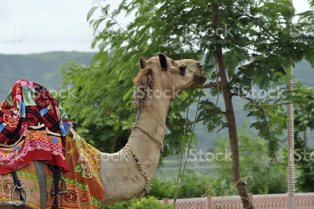 Beautiful camel royalty-free stock photo