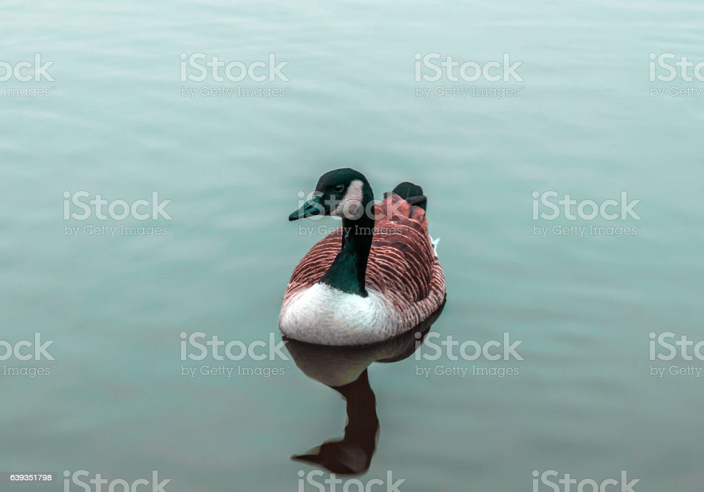 Beautiful Canada goose stock photo