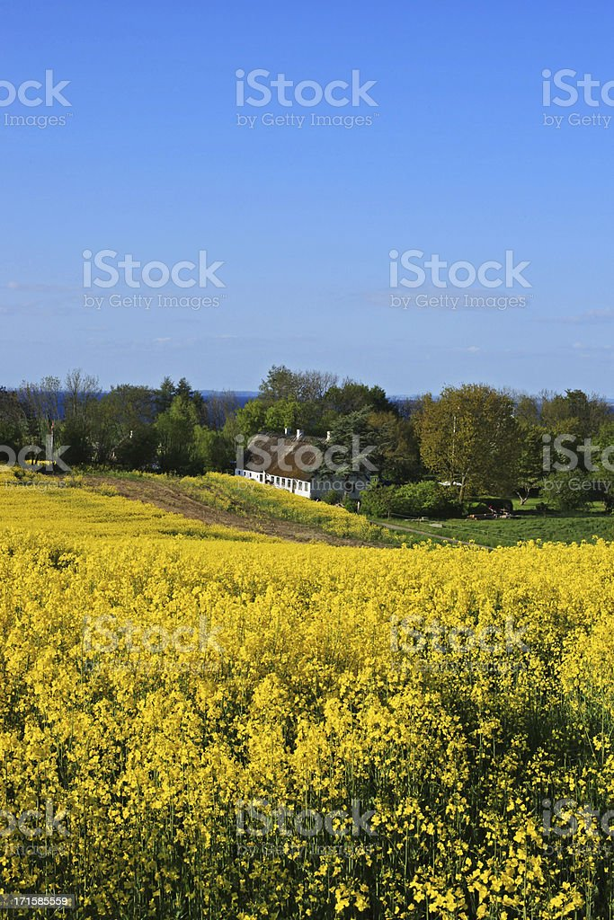 Beautiful canola field, old farmhouse and sea, South Jutland, Denmark royalty-free stock photo