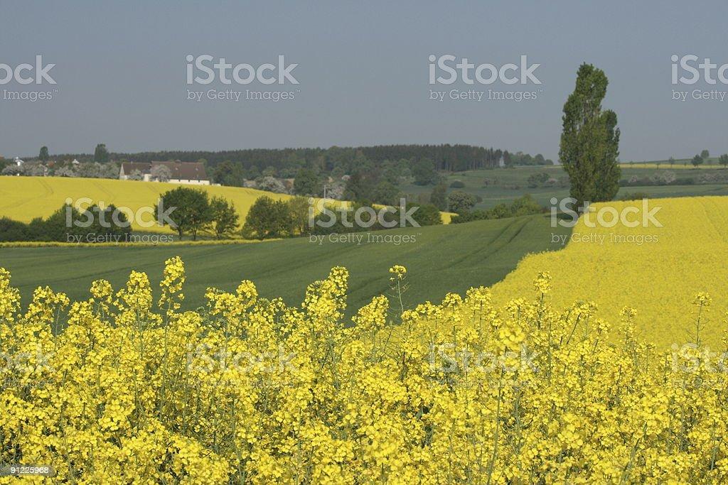 Beautiful Canola Fields in Swabian Mountains stock photo