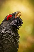 Beautiful capercaillie bird male in the nice colourfull background