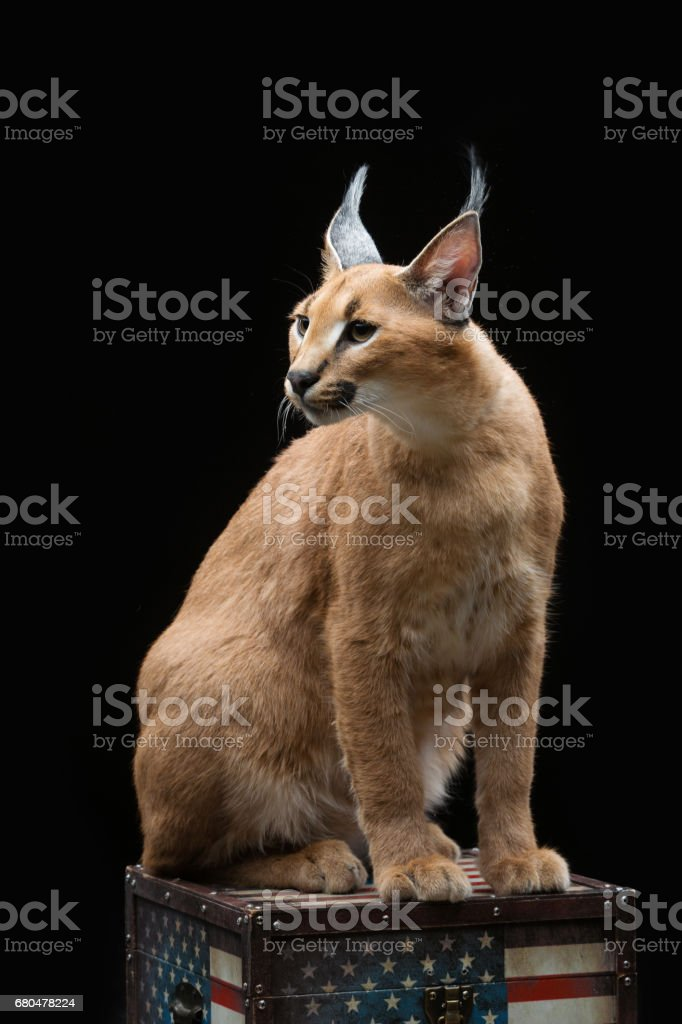 Beautiful caracal lynx over black background stock photo