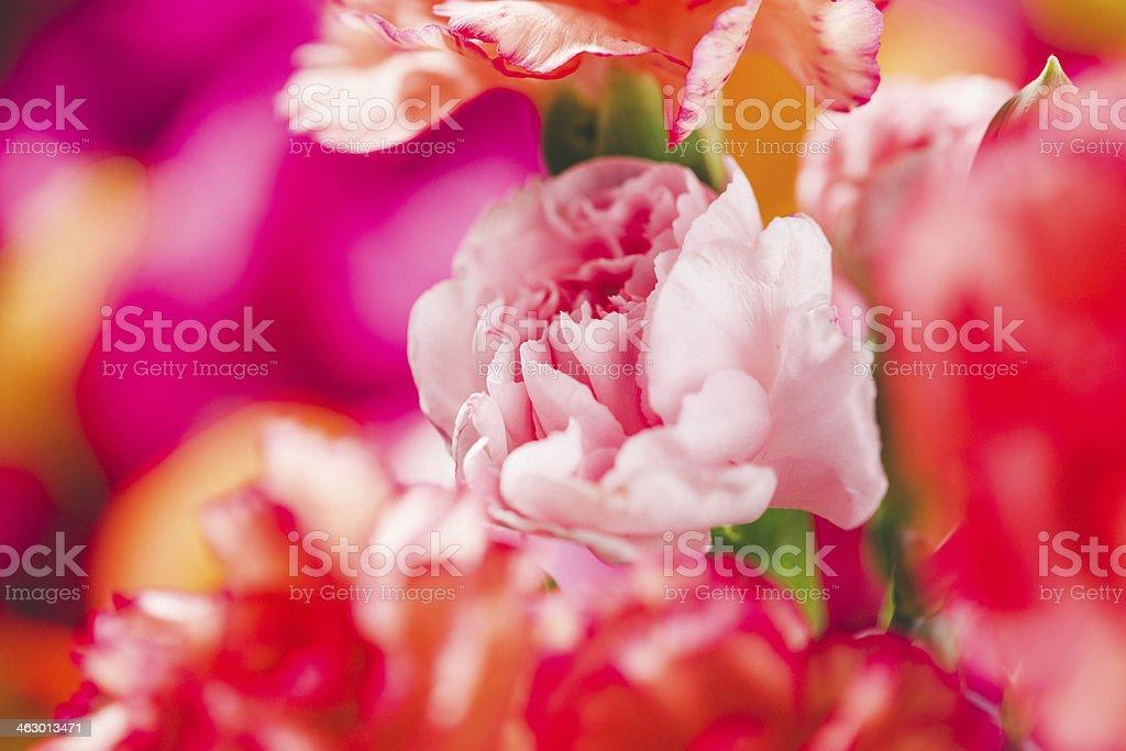 Beautiful carnation stock photo