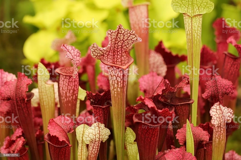 Beautiful carnivorous red and green pitcher plants stock photo