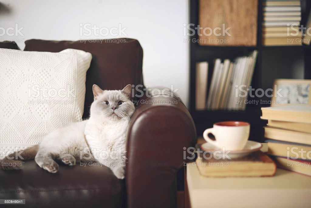 beautiful cat British Shorthair stock photo