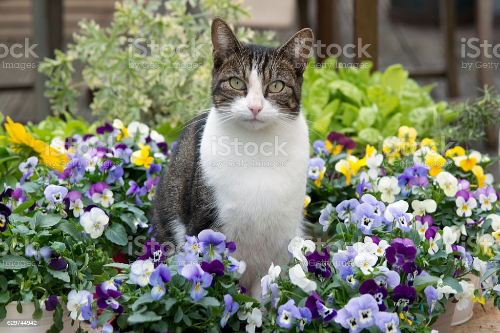 Beautiful cat in between colored pansy flowers stock photo