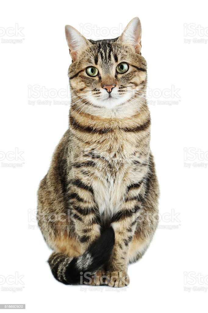 Beautiful cat isolated on a white stock photo