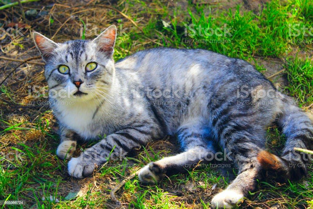 beautiful cat of Scottish Straight stock photo